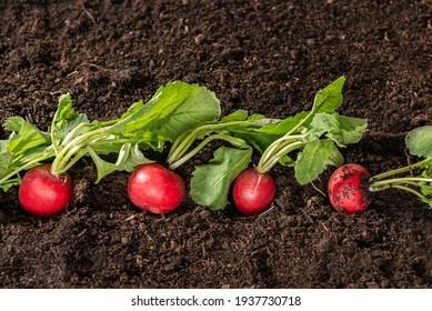 radish plant growing on soil