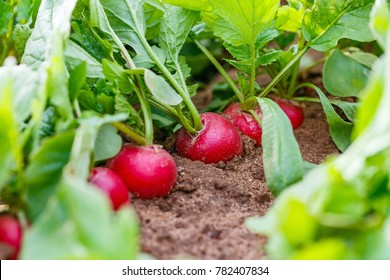 Radish plant in sandy soil, close up. Gardening  background with Radish  plants