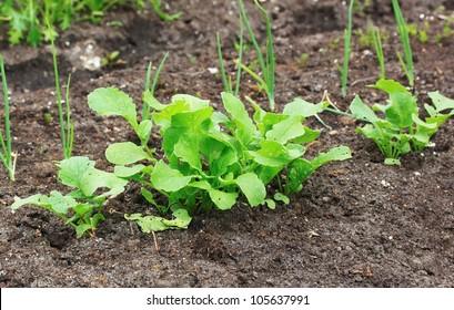 Radish plant in the soil