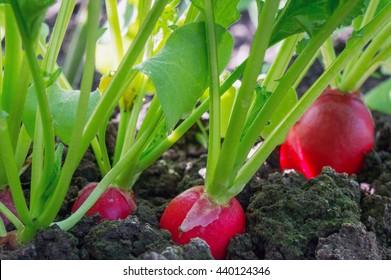 Radish (Raphanus sativus) growing in soil. Ripe red root vegetable with green leaves.