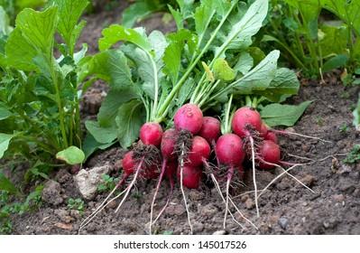 radishes from garden