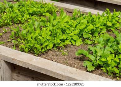 Radishes in Planter Box