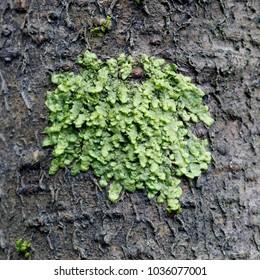 Radula complanata, a cannabinoid moss