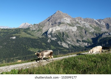 Raetisches Grauvieh, rare breed of cows and mountain