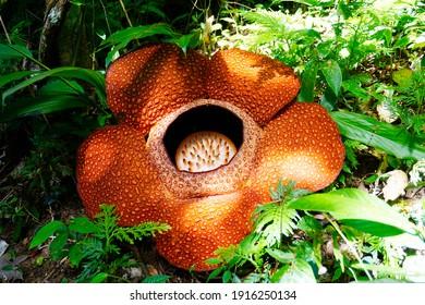 Rafflesia Keithii. The Biggest Flower in the World.
