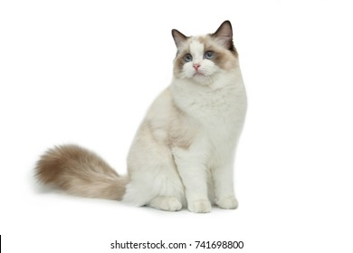 Rag doll cat on a white background.