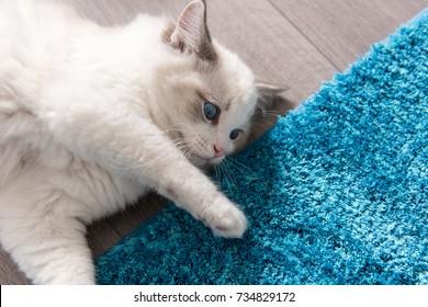 Rag doll kitten with blue eyes