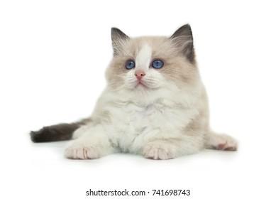 Rag doll kitten on a white background.