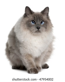 Ragdoll (1 year old) in front of a white background