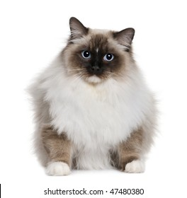 ragdoll (10 months old)  in front of a white background
