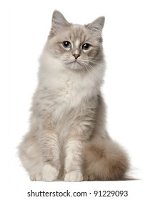 Ragdoll cat, 1 year old, sitting in front of white background