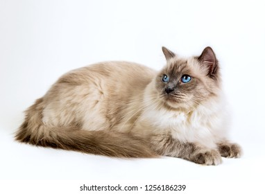 Ragdoll cat with blue eyes on a white background