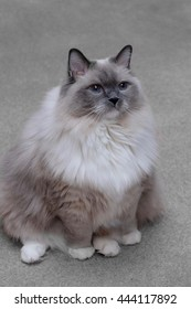 Ragdoll cat with blue eyes sitting indoor. Purebred blue mitted young male.