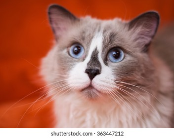 Ragdoll cat breed on a orange background
