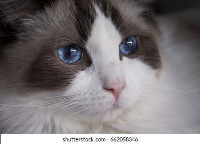 Ragdoll cat close-up