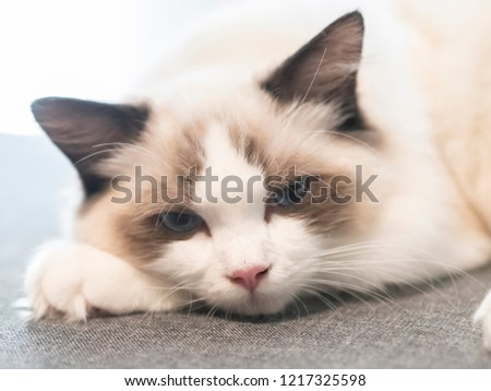 Ragdoll Cat Laying On Sofa Stock Photo Edit Now 1217325598