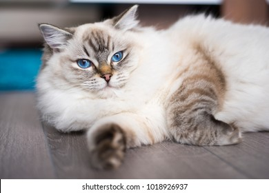 Ragdoll cat lying on the wooden floor