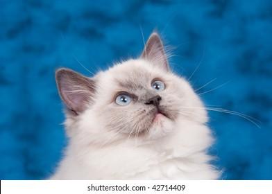 Ragdoll cat on blue background