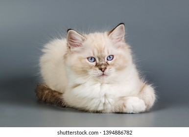 Ragdoll cat on a grey background