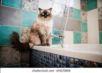 Ragdoll cat sitting in the bathroom