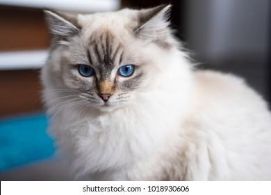Ragdoll cat sitting on the floor