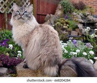 Ragdoll Cat Sitting Outdoors On A Stone Wall