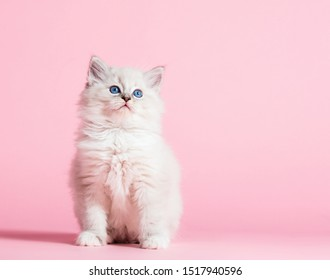 Ragdoll cat, small cute kitten portrait on pink background. Pedigree pet