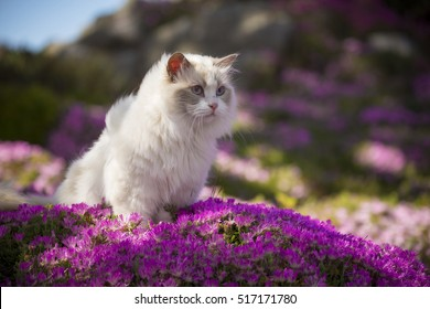 A ragdoll cat walks through a patch of pink flowers.