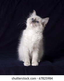 ragdoll kitten on a dark background