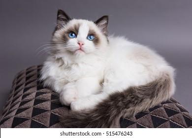 Ragdoll kitten on a pillow looking up