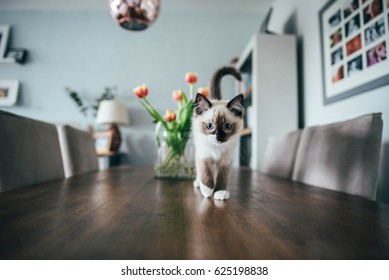 Ragdoll Kitten on a table with flowers