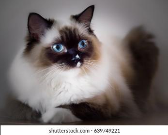 Ragdoll kitten portrait