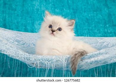 Ragdoll kitten sitting inside lace hammock on blue background