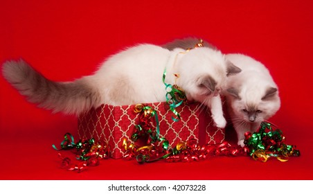 Ragdoll kittens investigating gift boxes on cloth red background