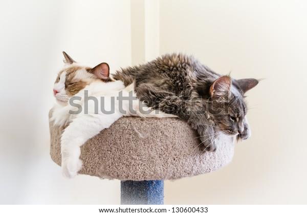 A Ragdoll and a Maine Coon kitten make a sleepy cat pile.