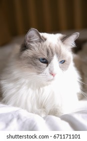 ragdoll on the bed
