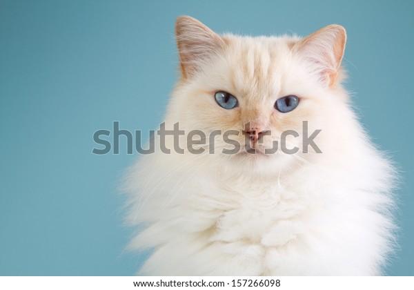 A ragdoll portrait with a blue background