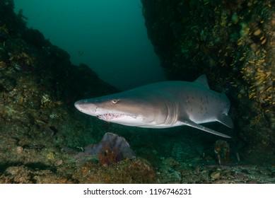 Ragged tooth shark, Aliwal Shoal, South Africa.