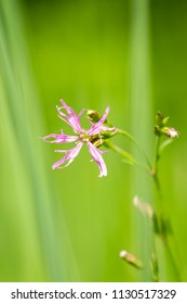 Ragged-Robin flowers, Lychnis flos-cuculi, blooming in a meadow with bright colors and natural sunlight.