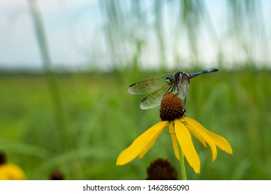 ragonfly resting on the coneflowers at the dixon waterfowl refuge, illinois.