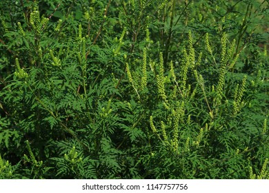Ragweed bushes. Ambrosia artemisiifolia causing allergy summer and autumn. ambrosia is a dangerous weed. its pollen causes a strong allergy at the mouth during flowering.