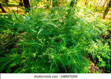 Ragweed bushes. Ambrosia artemisiifolia causing allergy summer and autumn. ambrosia is a dangerous weed. its pollen causes a strong allergy at the mouth during flowering