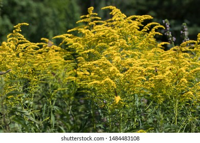 Ragweeds are flowering plants in the genus Ambrosia in the aster family, Asteraceae.