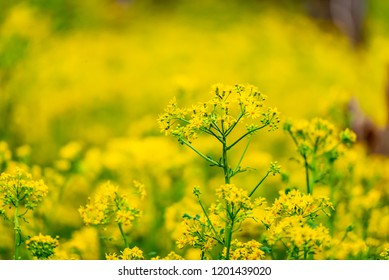 Ragwort Blooms Stand Tall in Spring with selective focus