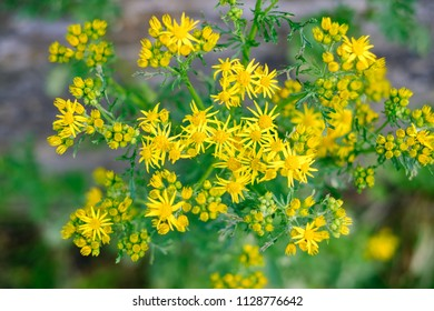 Ragwort or Stinking Willie flowers, a common medow plant what is poisonous to cattle and horses