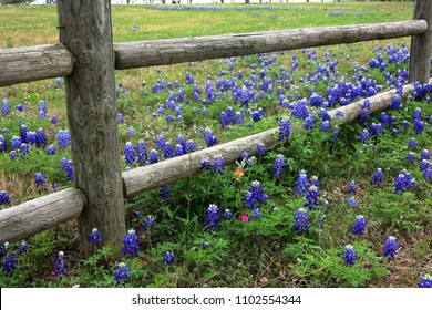Rail Fence and Texas Bluebonnets