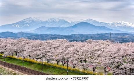 railroad track with a row of cherry trees, This area is popular sakura spot at funaoaka Sendai, Japan