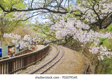 Railway and Cherry tree blossom at Alishan National Scenic Area, Taiwan