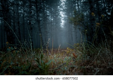 The rain in the coniferous forest is blue in the evening. Crimea