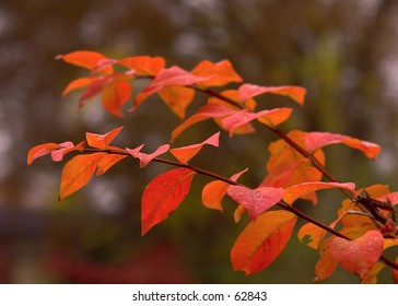 Rain Covered Red Leaves on a Tree Branch in Autumn.